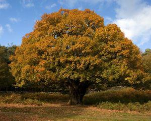 Oak-tree-autumn