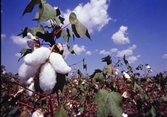 Cotton_india