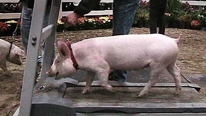 Pig-on-Treadmill